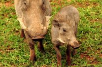 Warthog and baby warthog playing Feb 2018