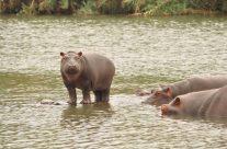 Turgwe Hippos Oct 2018
