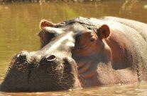 Turgwe Hippos Feb 2019