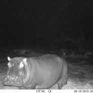 Bonbon hippo eating the food at night