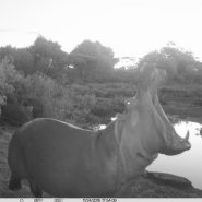 Hippos and Others Feeding Nov 2019