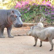 Steve the Hippo June 2020