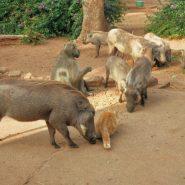 Warthogs at Karen's Haven