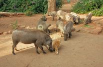 Warthogs at Karen's Haven
