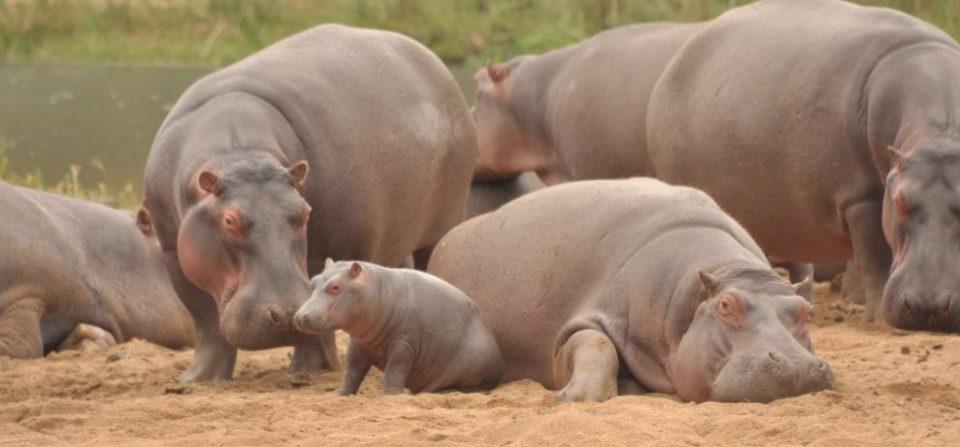 Hippo Calves and Steve the Hippo August 2020