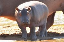 A New Lady Hippo is waiting for a Name