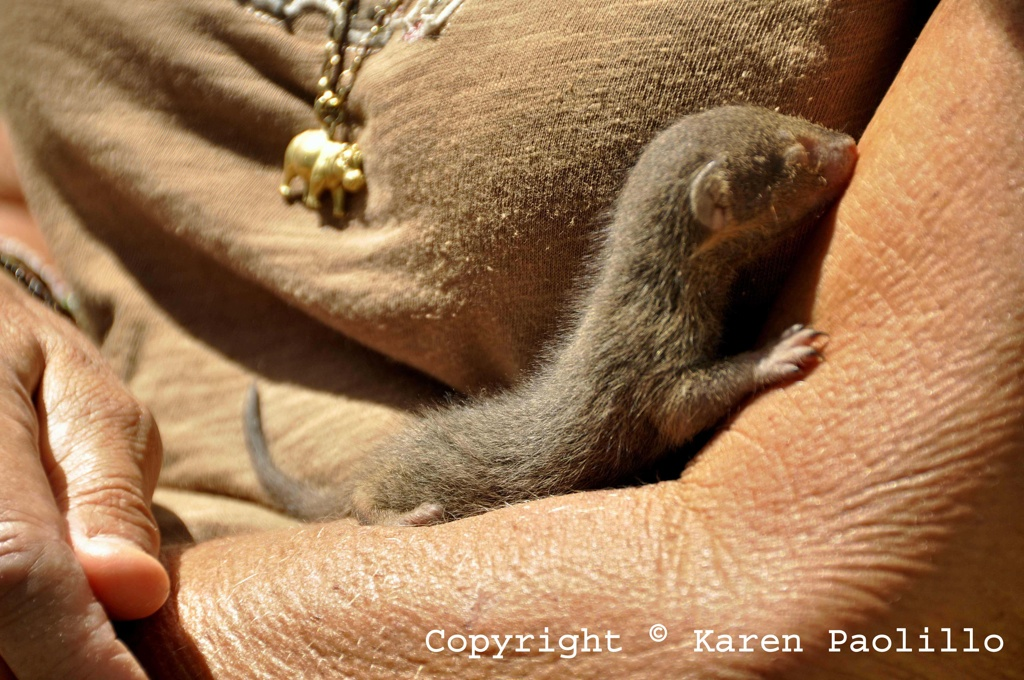 Mar. 2013 – Baby Mongoose new born