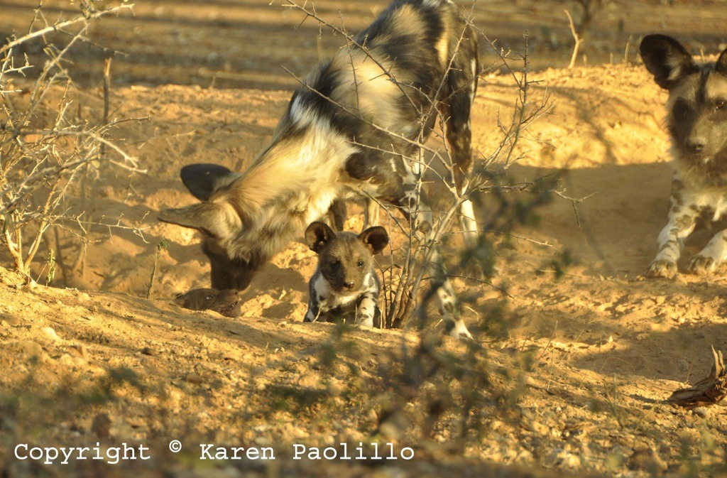 June 2013 – Painted Wild Dog Puppies