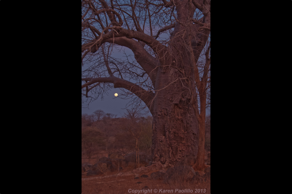 Baobab and the moon in Zimbawe