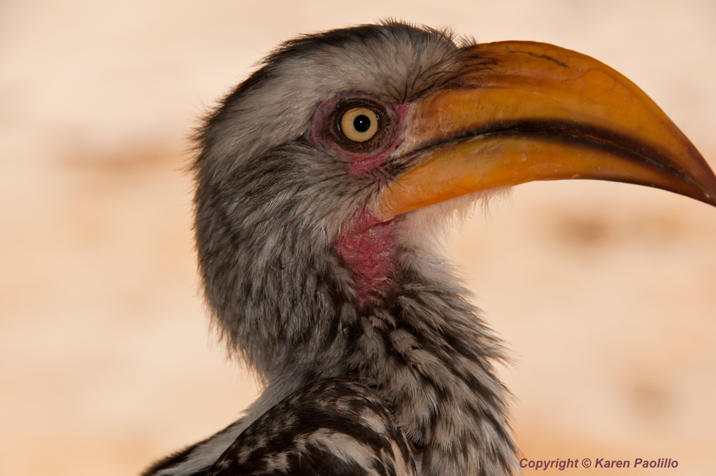 Yellow billed Hornbill