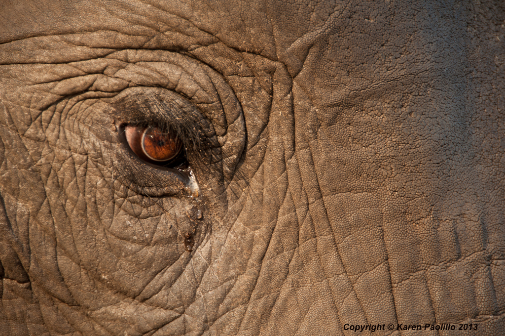 Elephant in elephant's eye