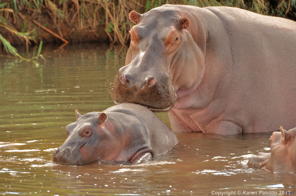 Hippo female grooming young calf