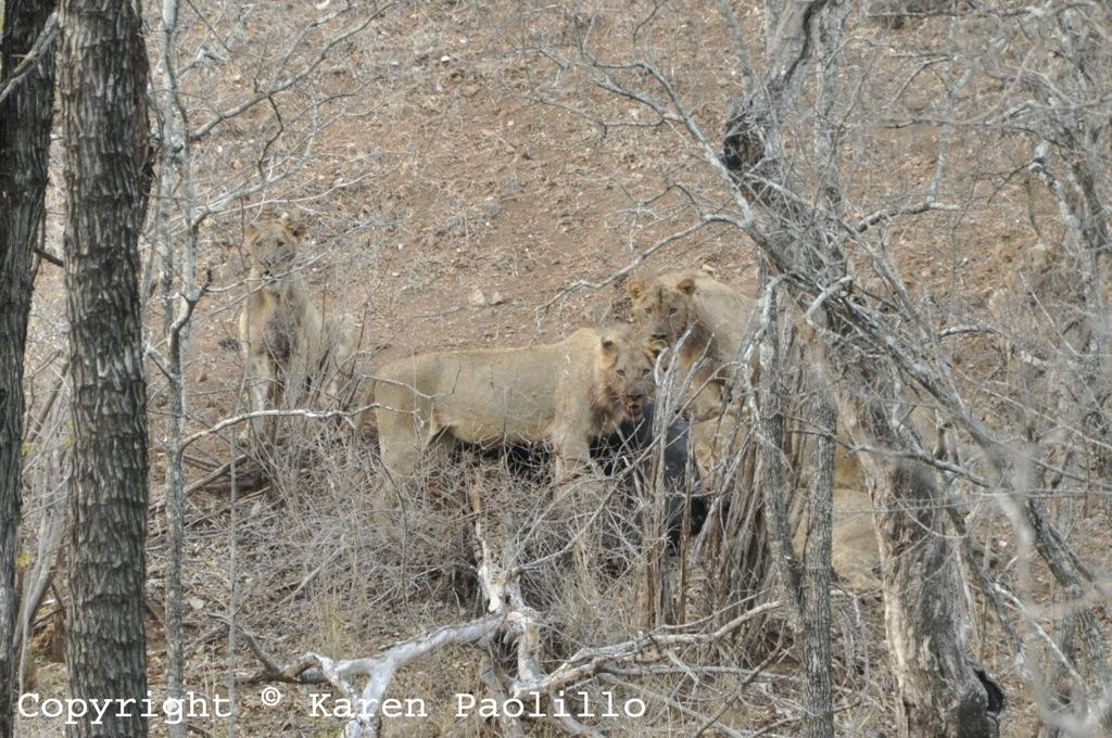 Nov. 2012 – Lions on a Kill