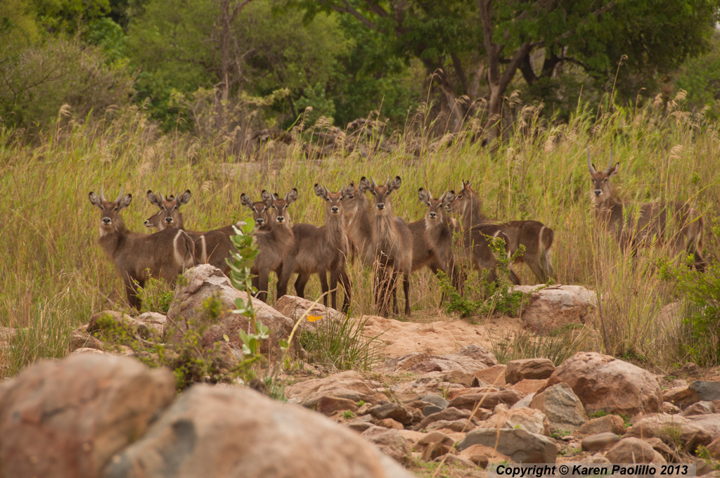 Waterbucks at Hippo Haven