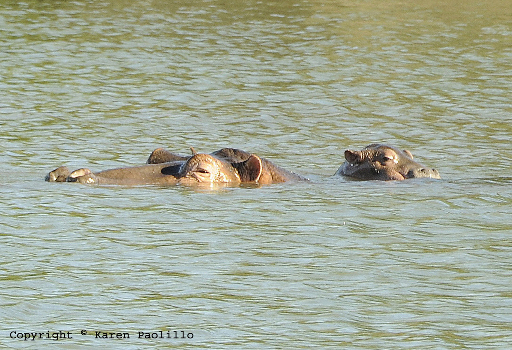 Apr. 2011 – New Hippo Calves