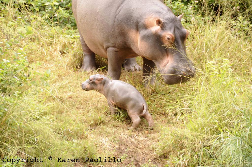 Apr. 2011 – Hippo Tacha gives birth 6th April 2011