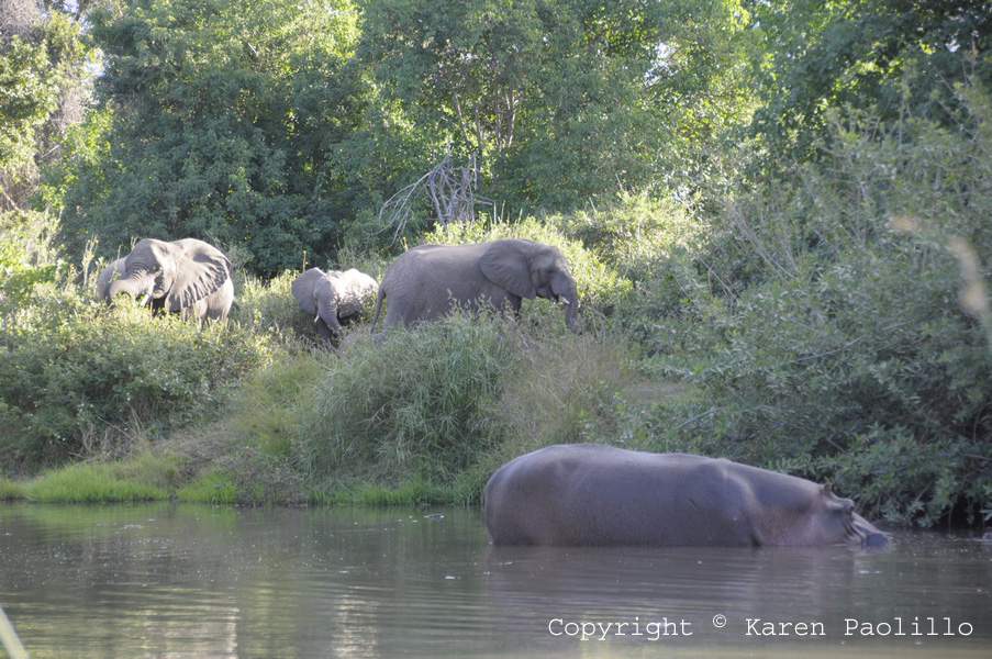 Elephants visiting hippo pool