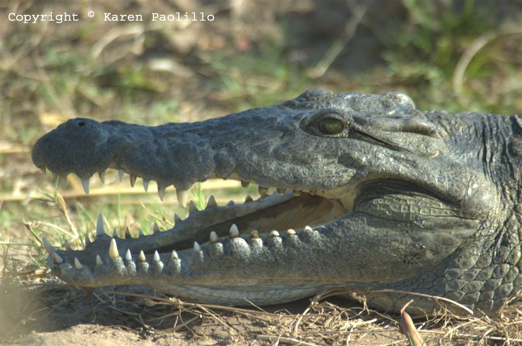 Croc close up at Turgwe Trust