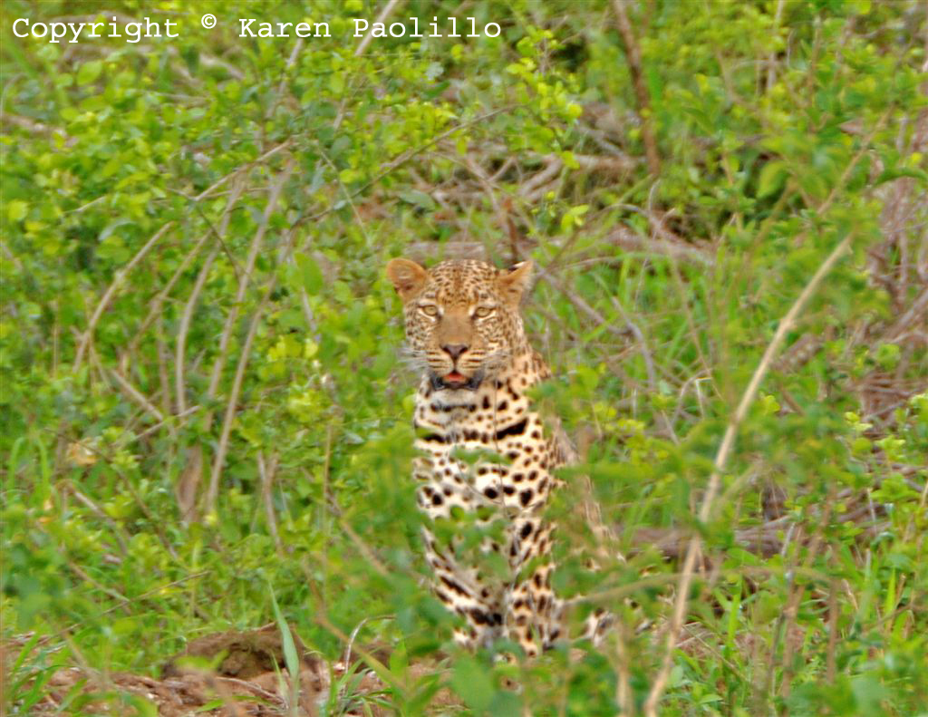 Dec 2011 - Leopard at Turgwe Trust