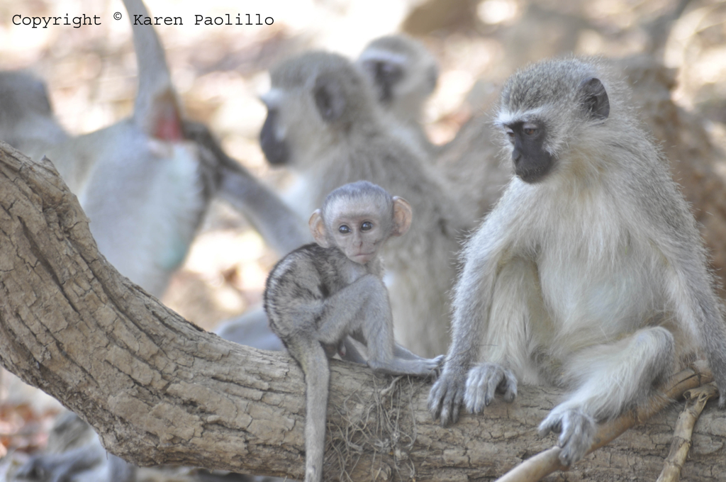 Vervets and the baby