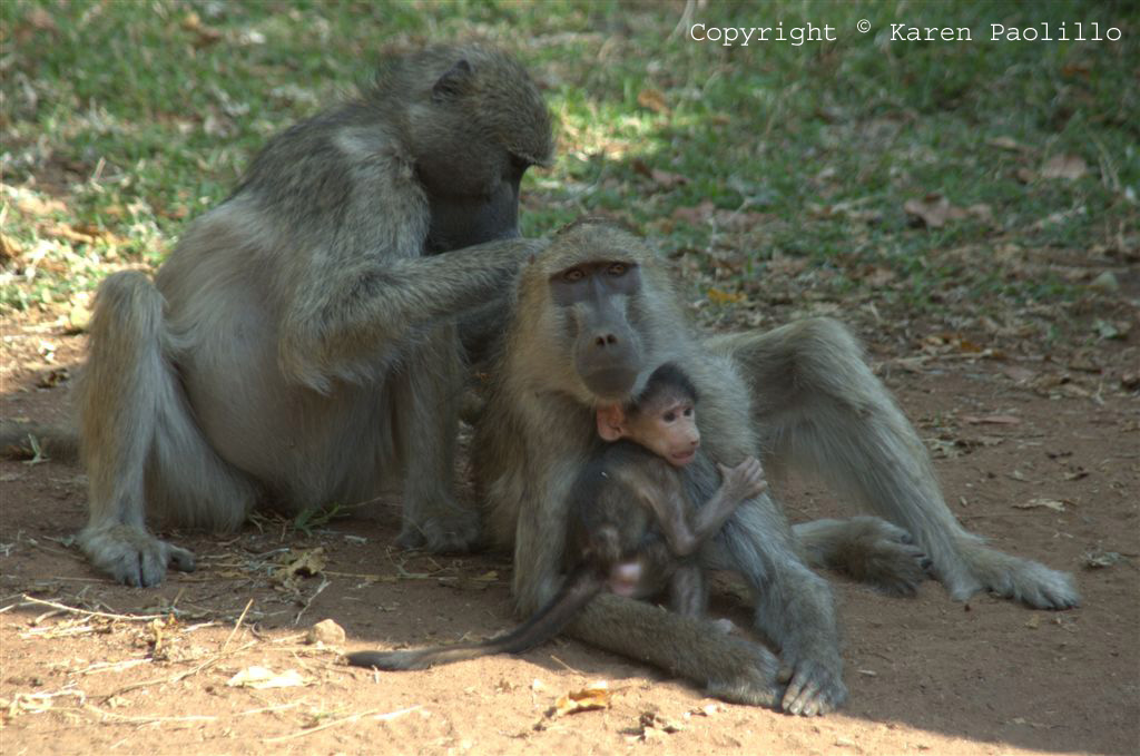 Baboon Family living at Hippo Haven