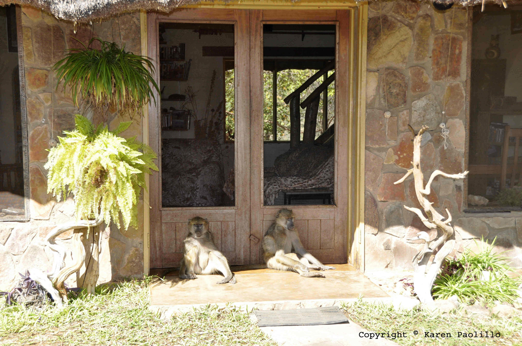 May 2011 – Chacma Baboons