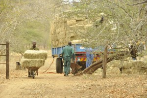 Unloading the bales and carrying them with wheelbarrows