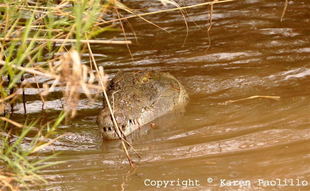 Mar. 2012 – Crocodiles