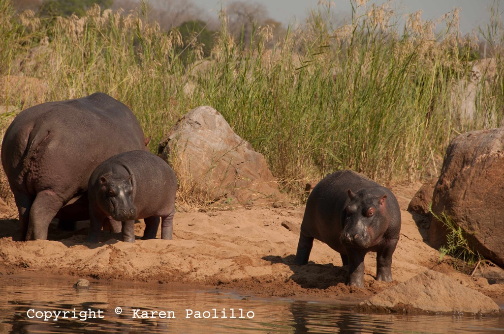 May 2012 – Hippos out of water, on land