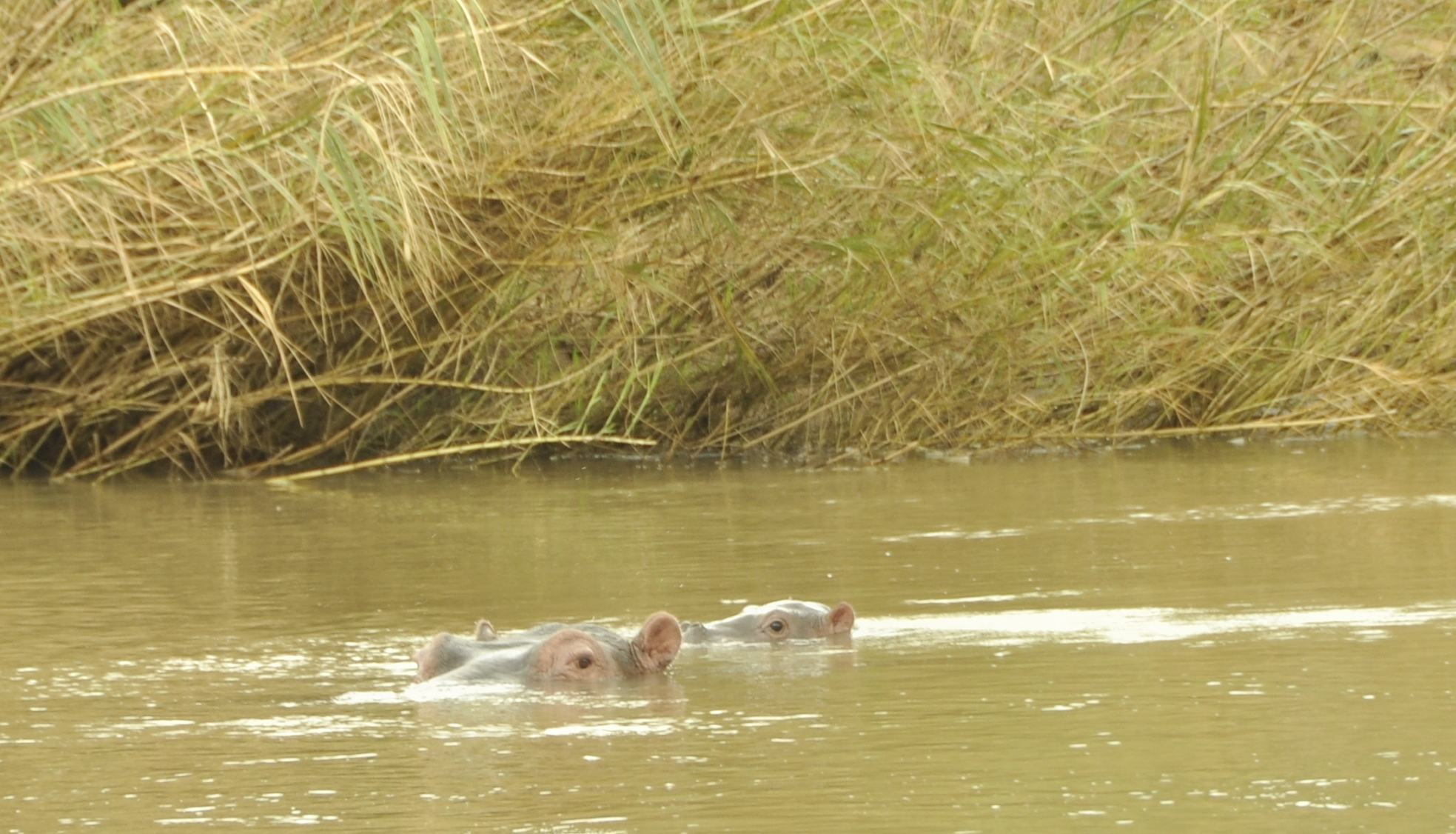 Feb. 16th – The first baby hippo of 2014.