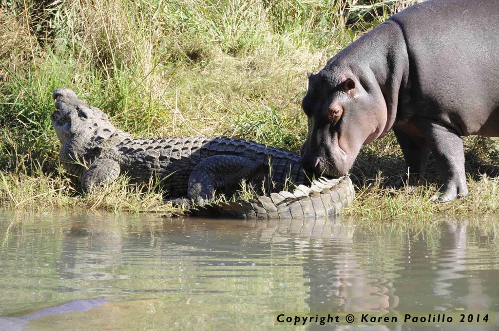 Kiboko grooming a croc