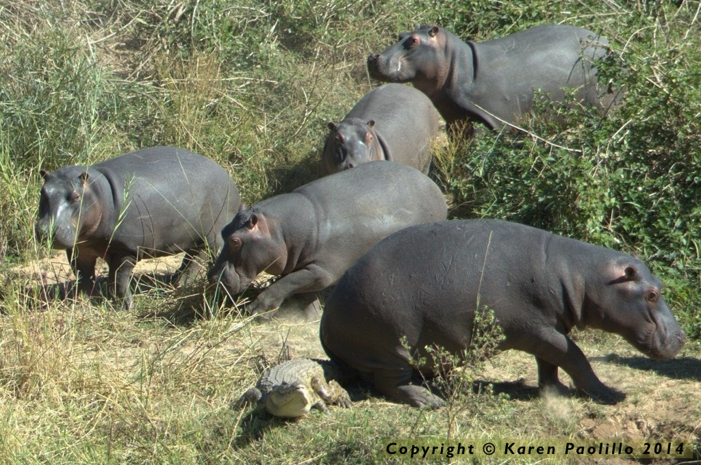 Tough time for a croc in the middle of a group of hippos