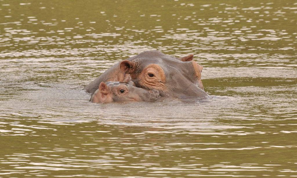Tacha and baby hippo
