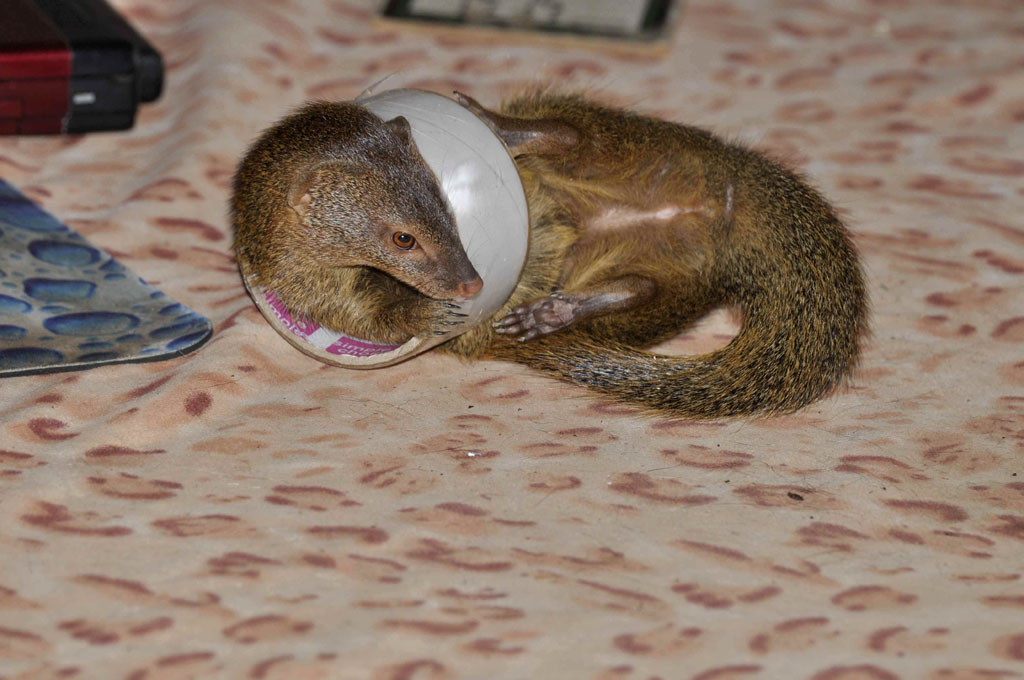 Squiggle the Slender Mongoose