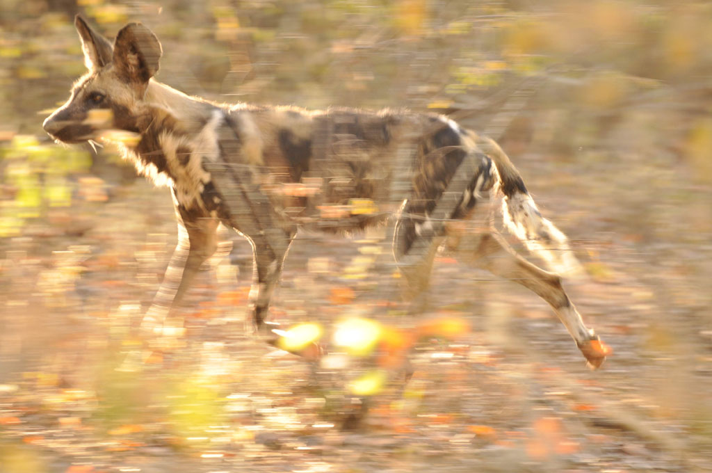 Painted Wilddog on the run.
