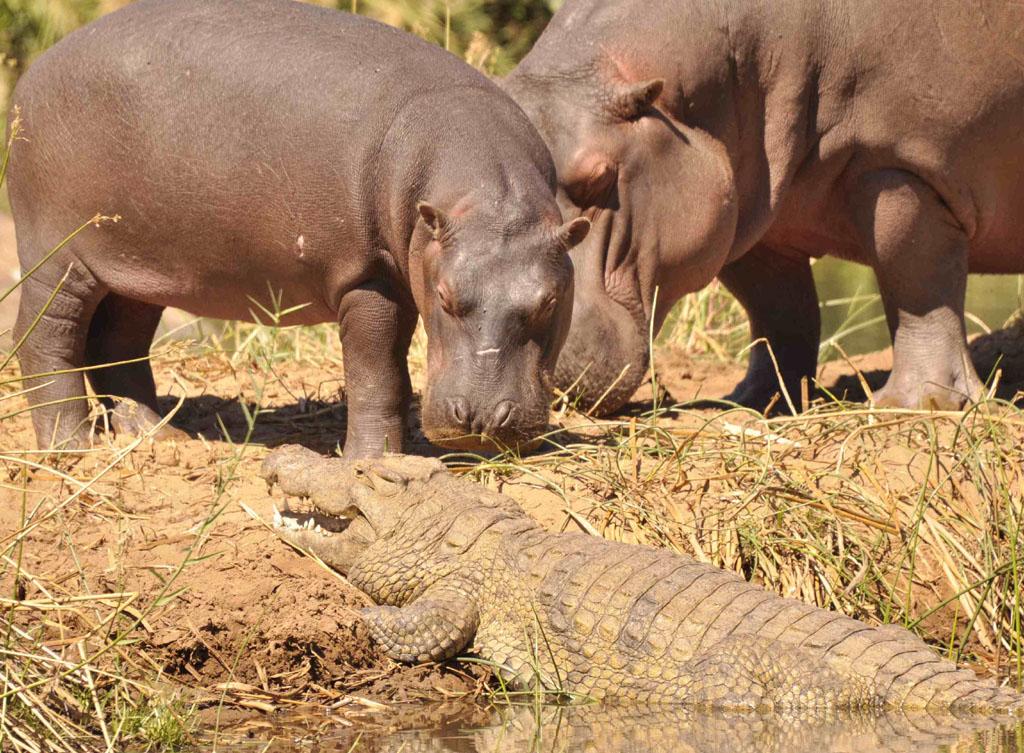 Darrow sniffing croc
