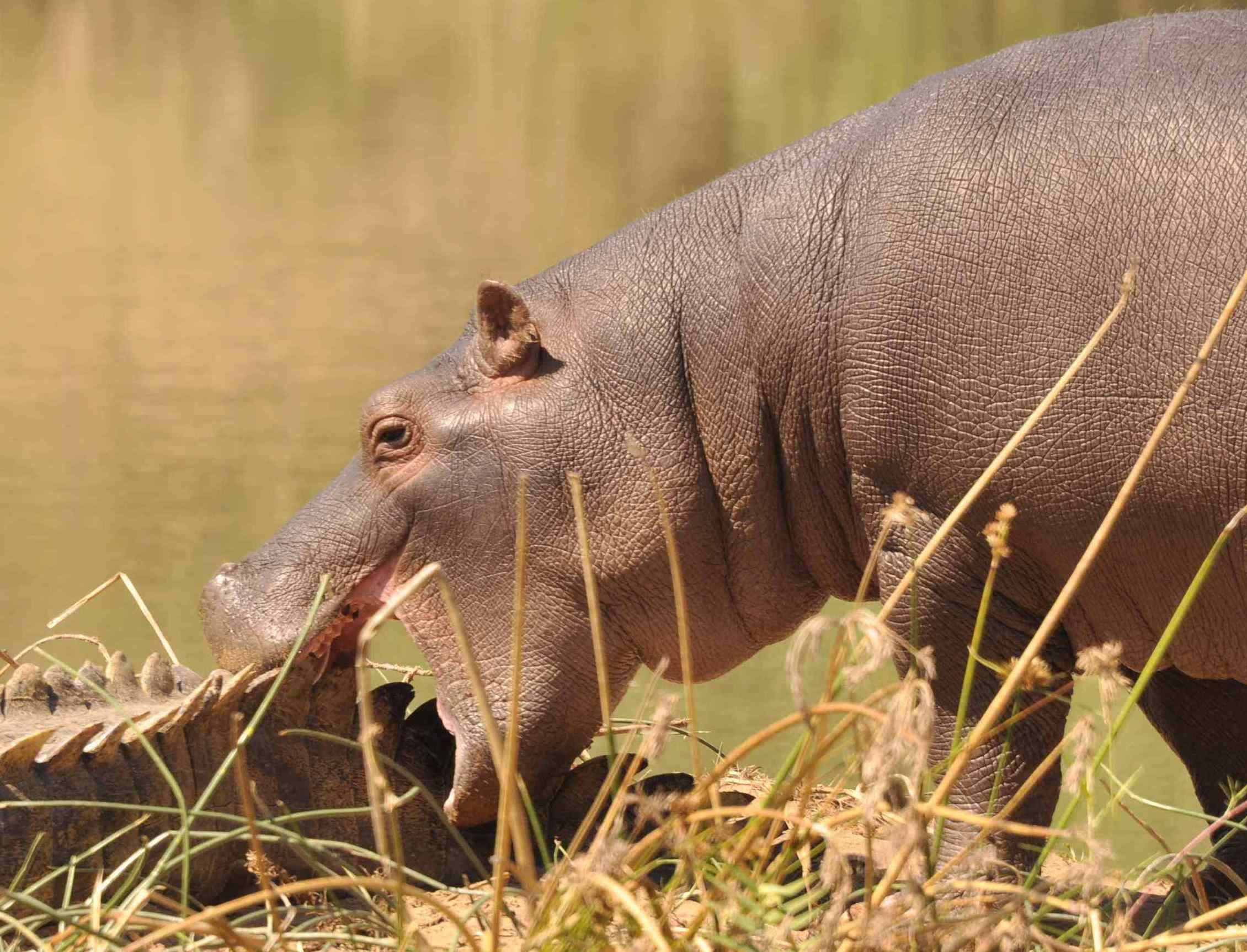 Baby hippo plays with crocodile Sept 2015