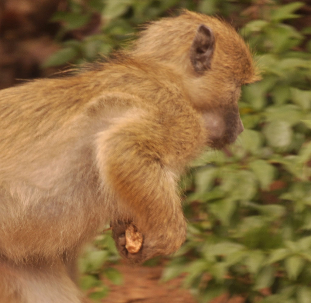 Rocksie The Baboon March 2016