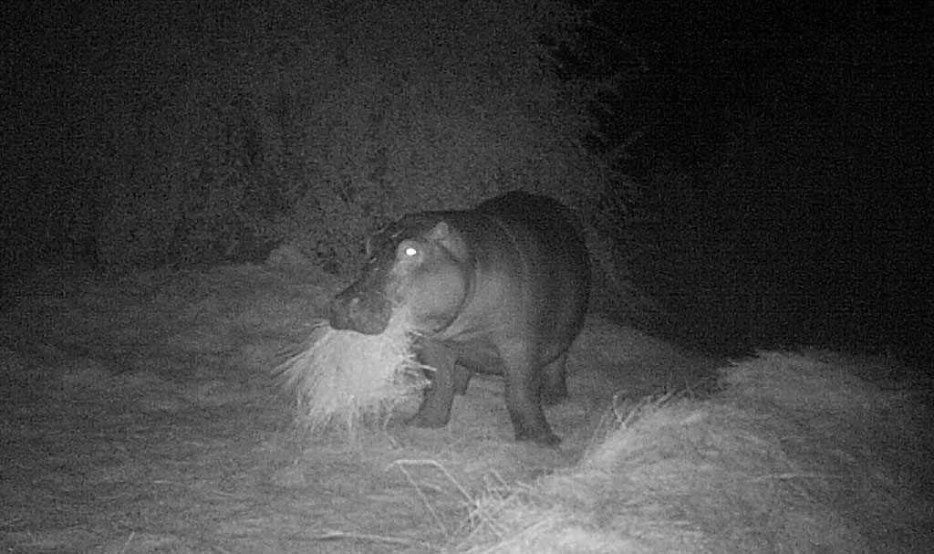 Feeding Hippos