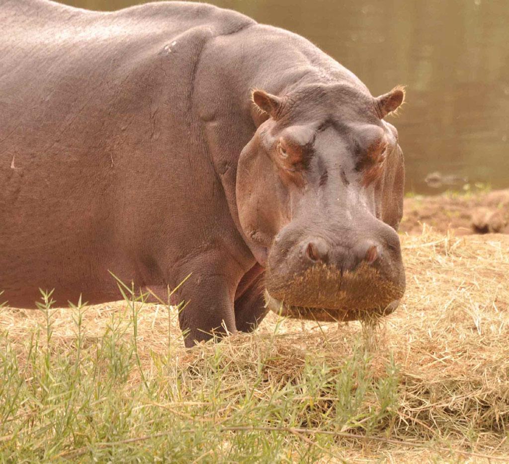 Surprise Hippo
