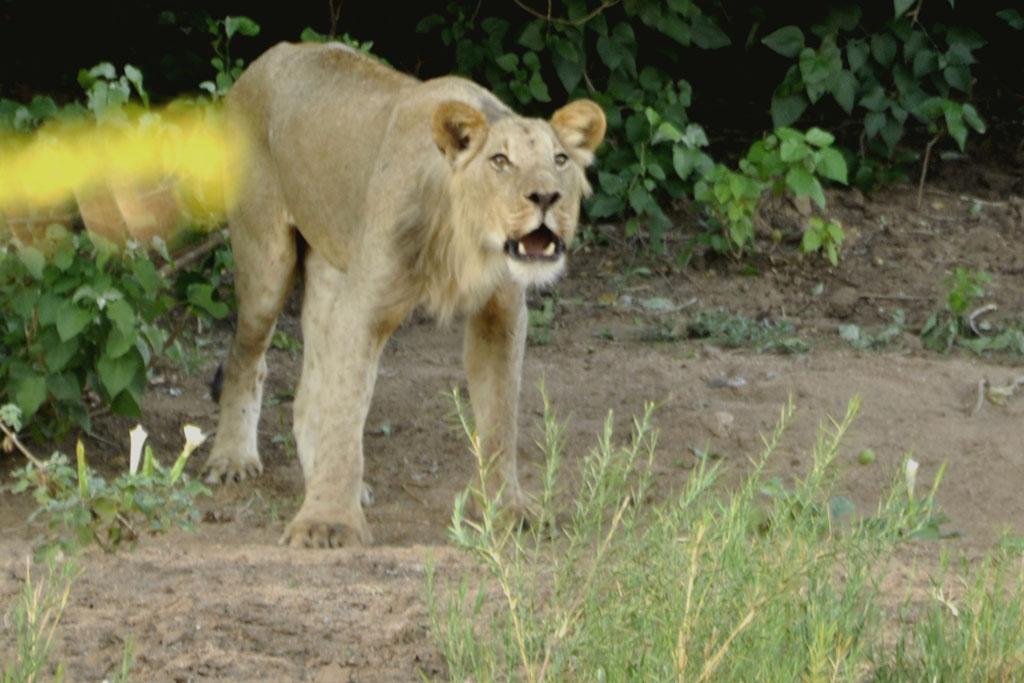 Lion Roaring Dec 2016