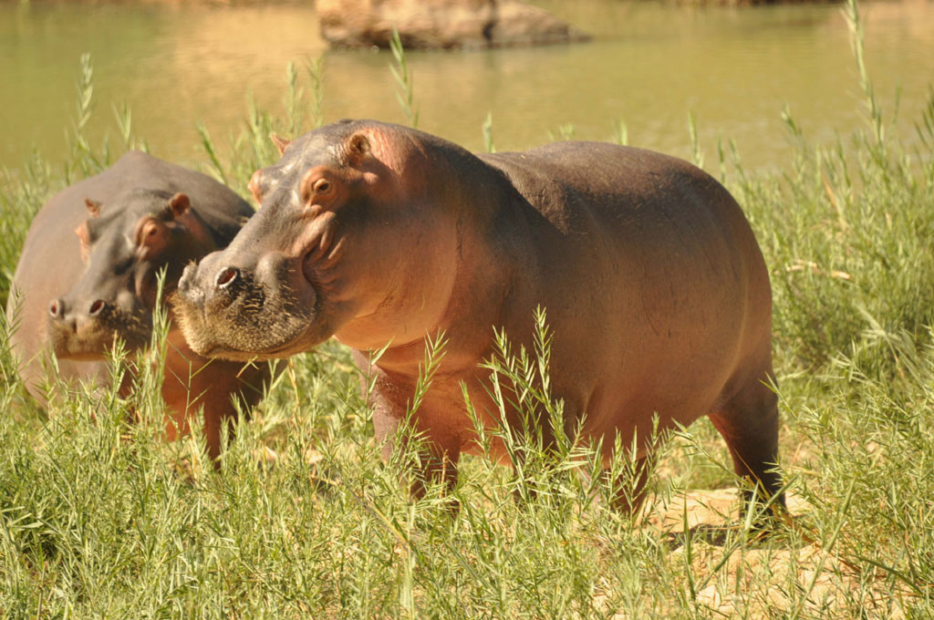 Hippos, Painted Wild Dogs and White Rhino June 2017