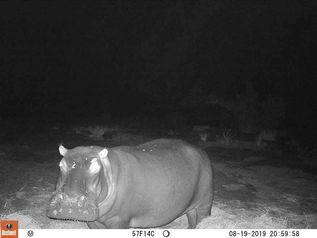 Bonbon hippo eating the food at night