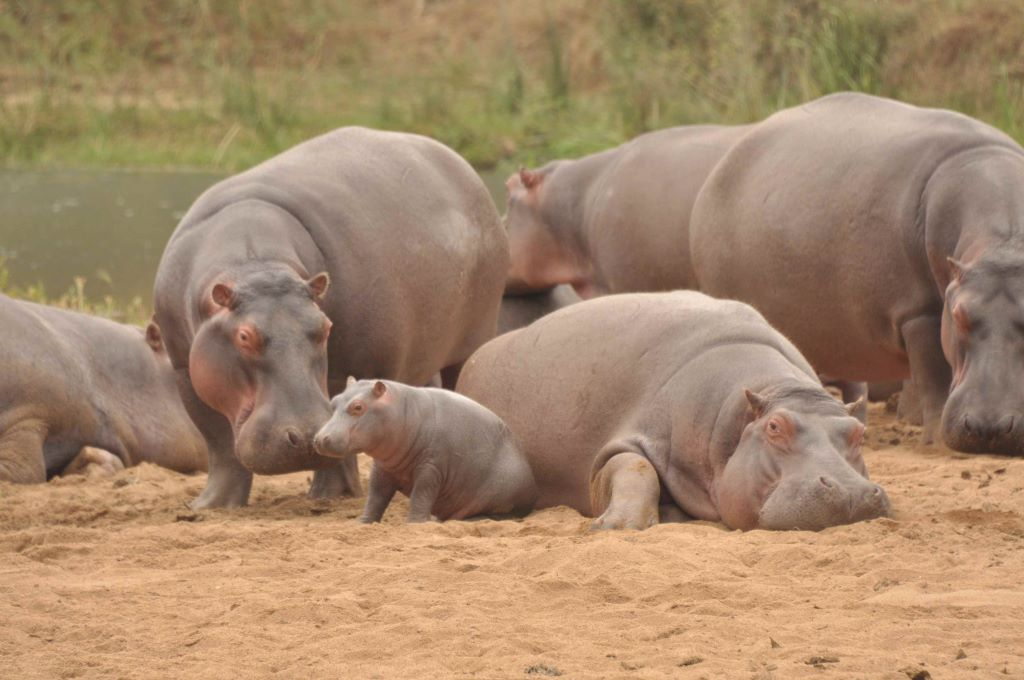Hippo Calves and Steve the Hippo August 2020