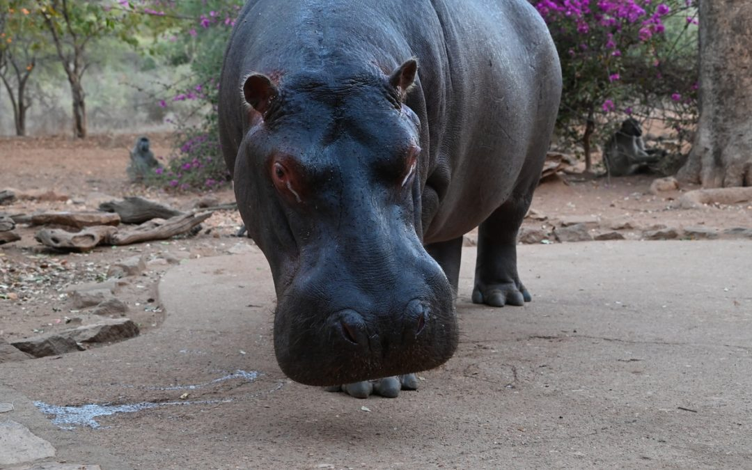 Steve the hippo and other animals August 2021